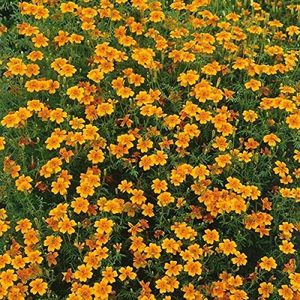 Kiepenkerl Kleinblütiges Tagetes orange