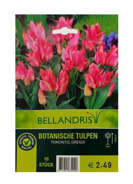 Bellandris Botanische Tulpen pink