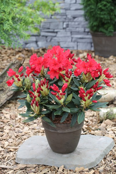Rhododendron-Hybride 'Vulcan'