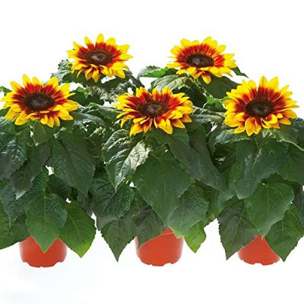 Kiepenkerl Sonnenblume Merida Bicolor
