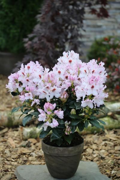 Rhododendron-Hybride 'Graffito'®