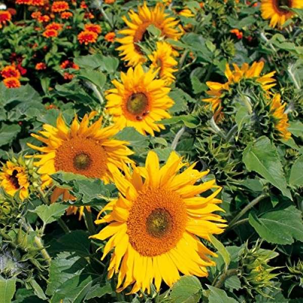 Kiepenkerl Sonnenblume Sunrich Gold