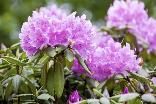 Rhododendron Hybride `Catawbiense Grandiflorum´