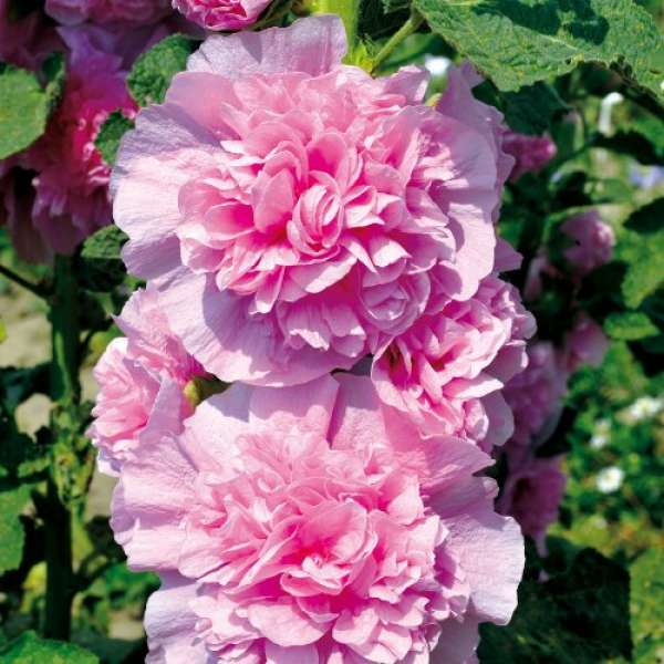 Alcea Chaters Pink